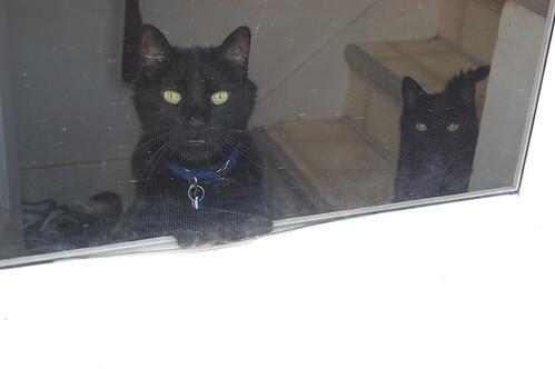 black cats looking out screen door