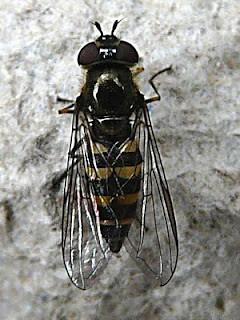 Parasyrphus punctulatus Tophill Low NR, East Yorks