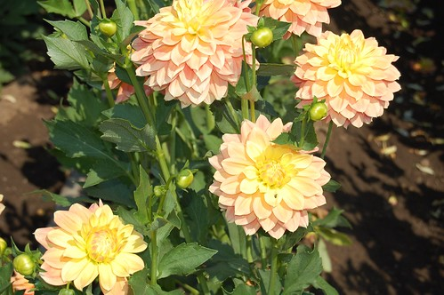 Peaches And Dreams Dahlia