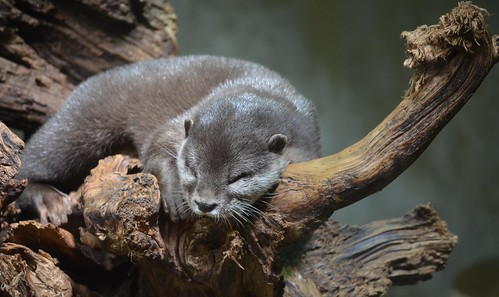 otter snoozing in the crook of a gnarled tree