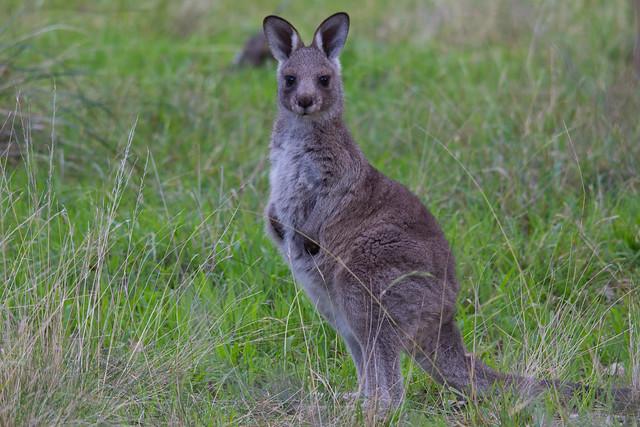 Young kangaroo 2012-07-11 (_MG_0848)