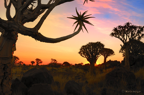 Quiver Tree Forest Sunset by Martin_Heigan