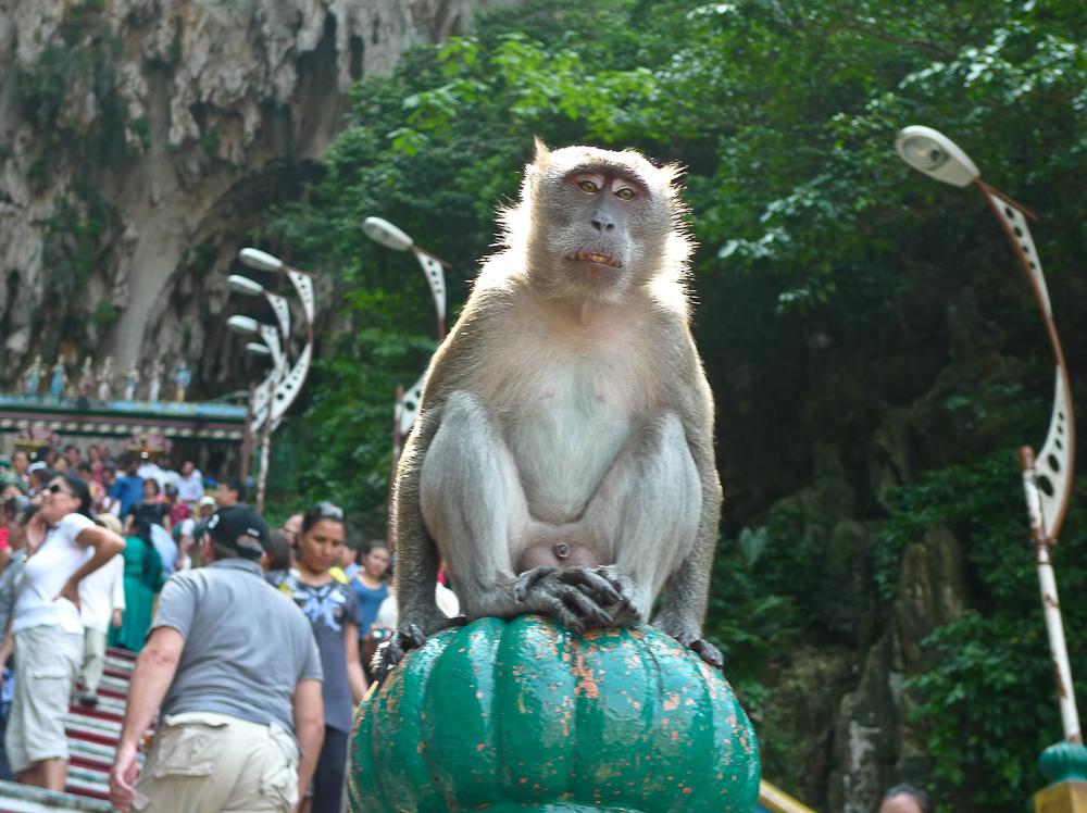 Batu Monkey
