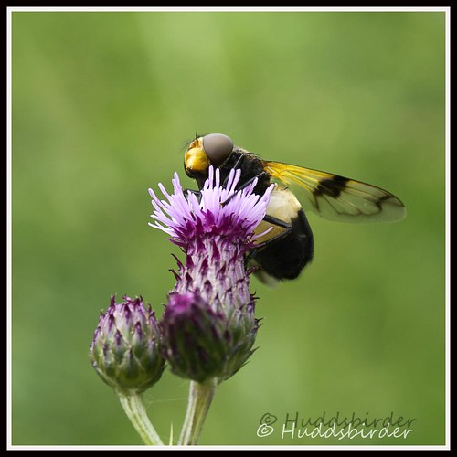 Pellucid Fly