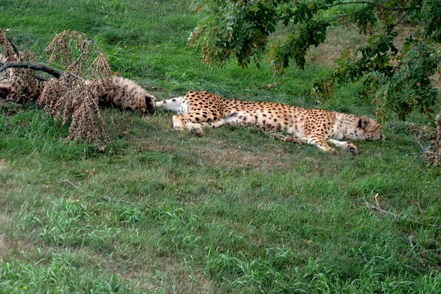 Dozing Cheetah Family