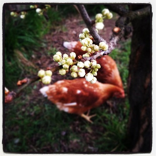 Spring buds. With chickens.