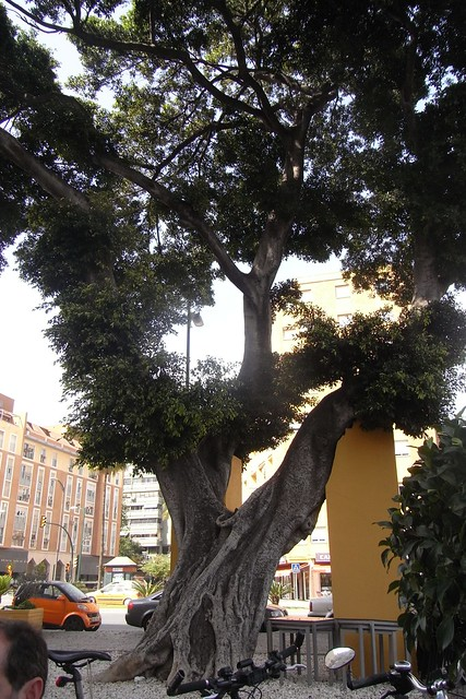 Árbol enorme en Málaga cerca de la estación de tren María Zambrano.