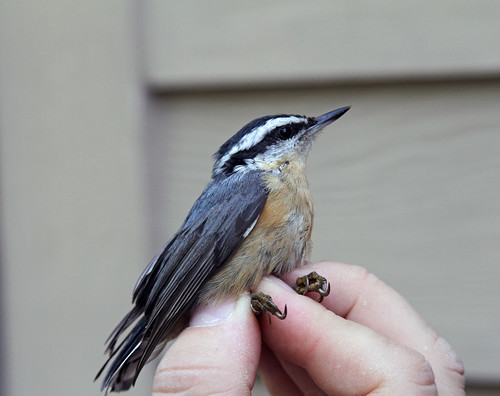 Female Blue Crowned Nut Hatch 1