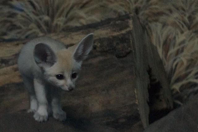 One Fennec Fox Baby