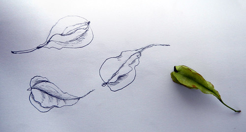 seed pod sketch