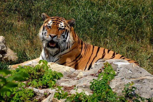 Big Siberian Tiger