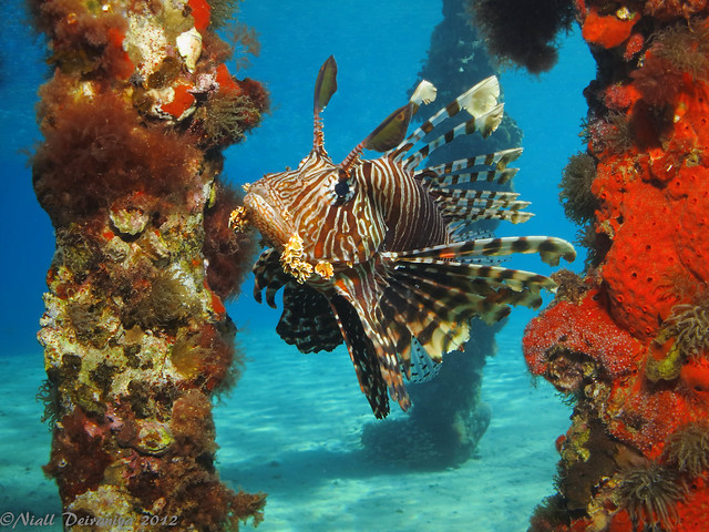 LION FISH BETWEEN THE JETTY