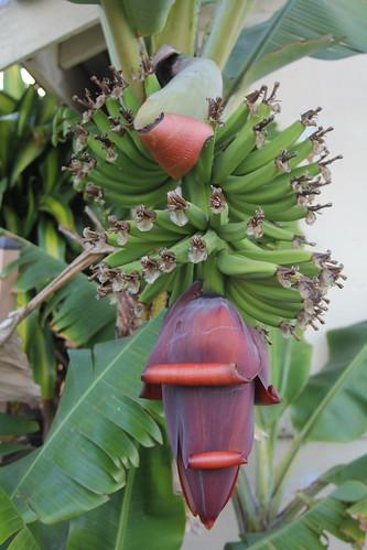 IMG 4533 My Banana's