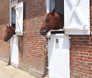 A couple of trotter stallions in France.