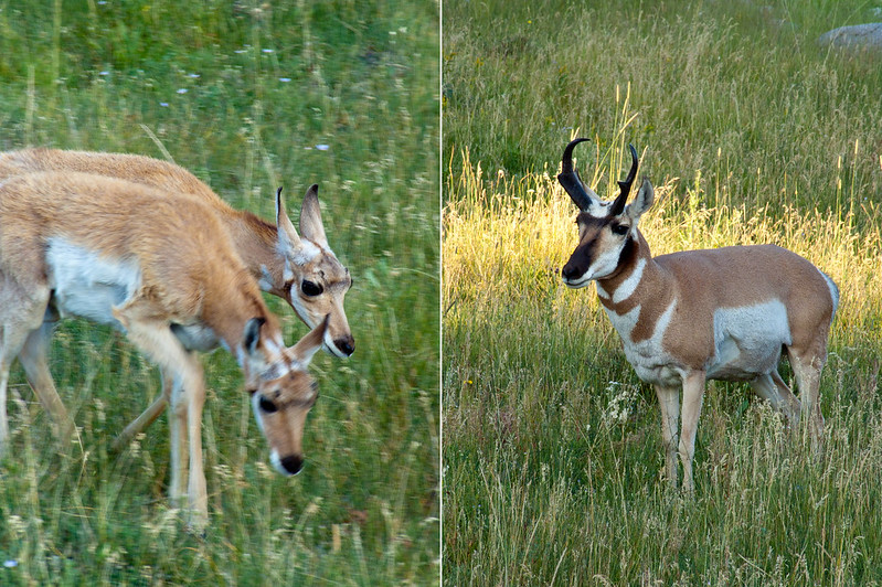 Pronghorn and two fawns in Lamar Valley, Yellowstone National Park