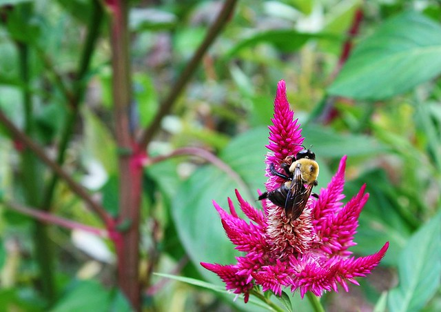 Bumblebee enjoying a bright fuchsia flower in a verdant Virginia garden.