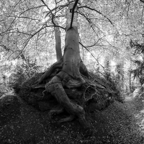 Tree, Shrawley Woods