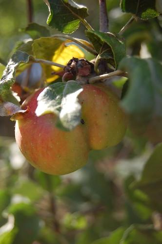 deformed apple