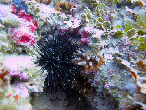 Long spined urchin (Diadema antillarum) and Warty Sea Anemone (Bunodosoma cavernata)