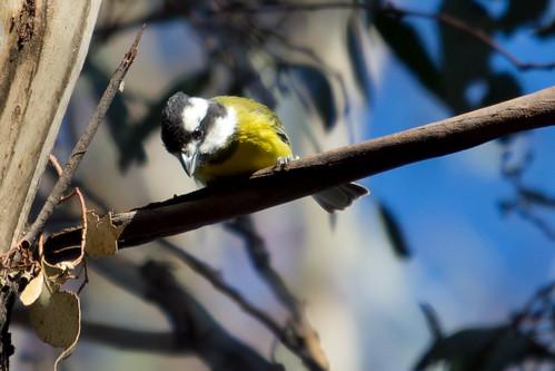Crested Shrike-tit 2012-08-15 (_MG_2239)