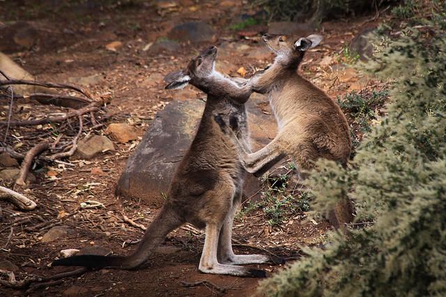 Wild kangaroo's, John Forrest national park, Western Australia