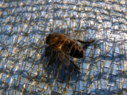 Honey bee?
