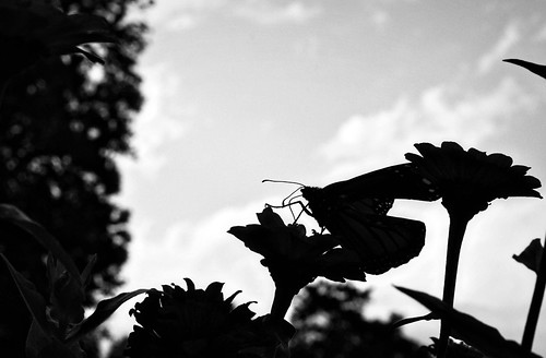 Silhouette of a butterfly and zinnias in Virginia.