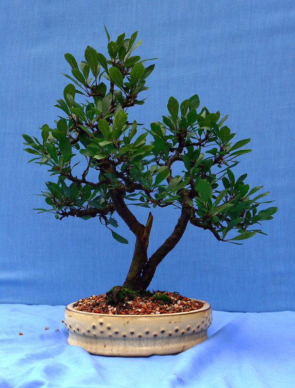 Blackthorn twin trunk