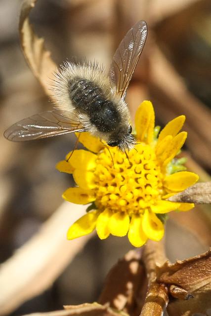 Beefly (Family Bombyliidae)