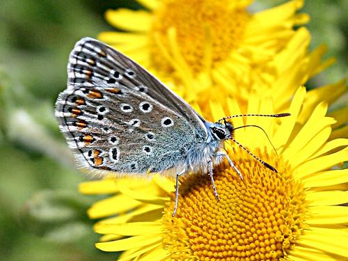 Common Blue TLNR Aug 2012