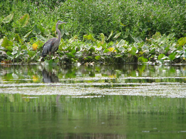 Our friend, the great blue heron