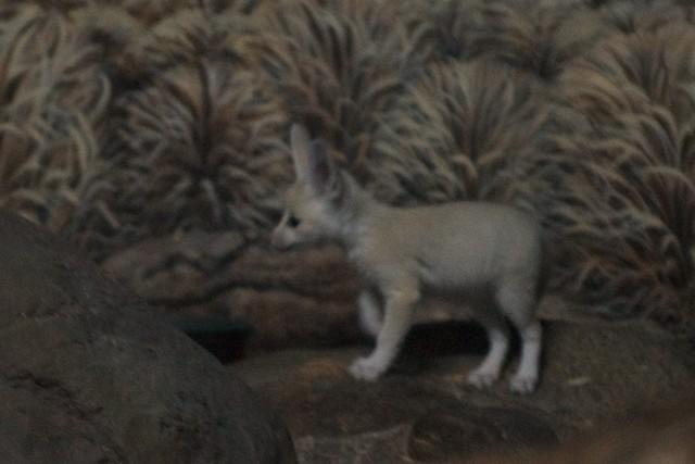 Fennec Fox Baby 1