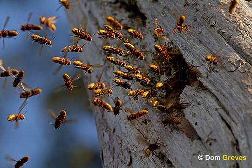 Hornets returning to nest
