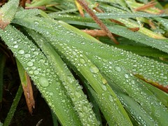 Rain on spiderwort leaves