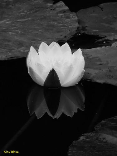 Mono Lily