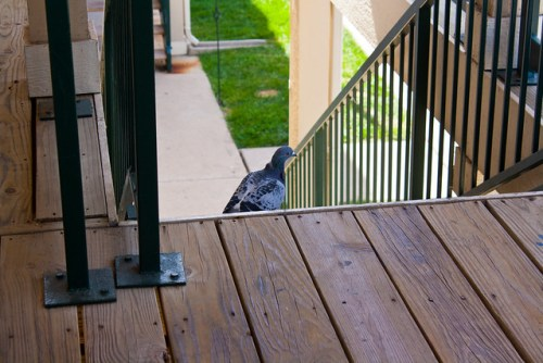 Pigeon Visitor