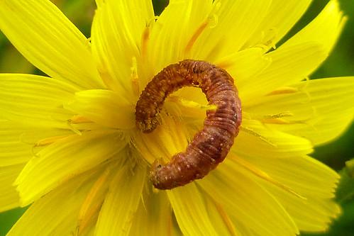 Pug caterpillar (Eupithecia cf. E. satyrata)