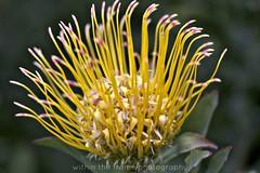 Erica protea species