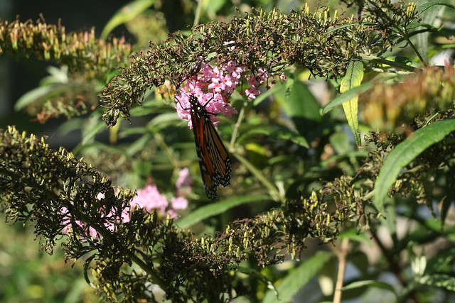 monarch in butterfly bushes
