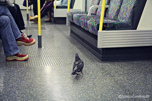 pigeon in the tube
