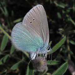 Green Underside Blue - Glaucopsyche alexis
