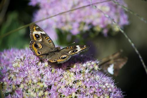 Common Buckeye Butterfly by jwill9311