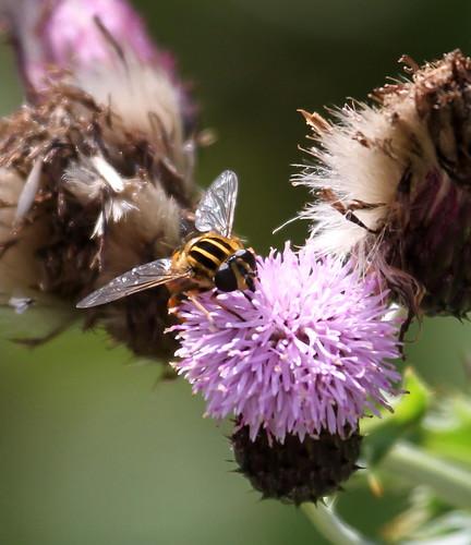 2012_08_14 CUL - Sun Fly (Heliophilus pendulus) 02