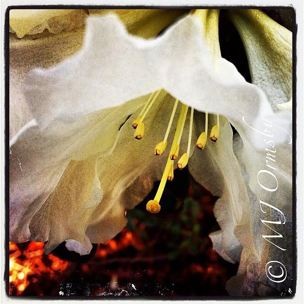 Spring beauty #delicate #macro #instagramhub #blooming