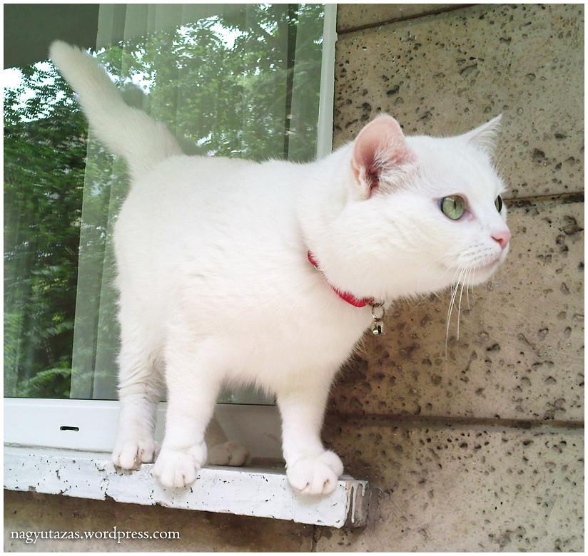 Aranyos török angóra cica
