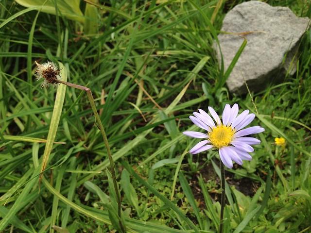 Fleabane flower (Erigeron sp., Asteraceae)