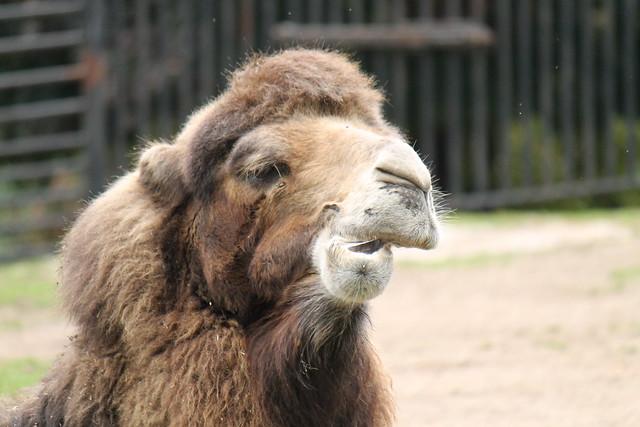 Nomming Camel