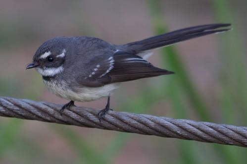 Grey Fantail 2012-09-26 (_MG_4548)