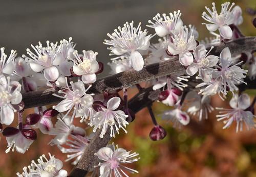 Høstormdrue / Actaea simplex Brunette