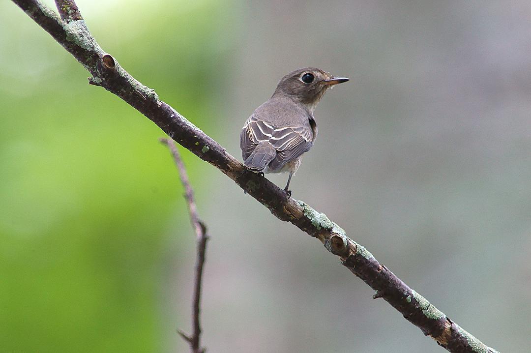 北灰鶲 (Asian Brown Flycatcher) - Po Toi 蒲臺 - Other Hotspots 其他熱點 ...